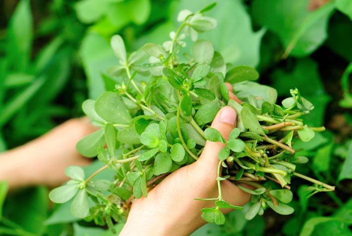 Portulaca oleracea propriet benefici e controindicazioni for Portulaca commestibile