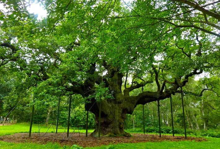 7 tra gli alberi pi famosi al mondo for Foto di alberi da colorare