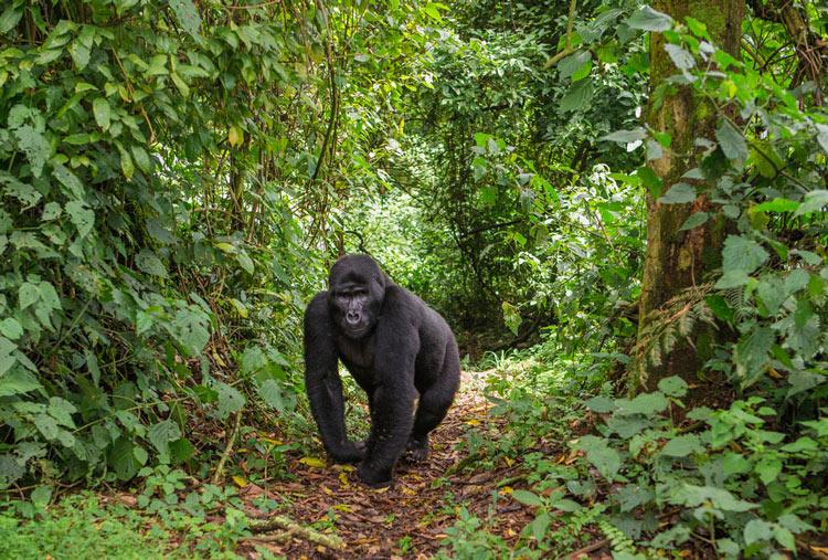 Parco Nazionale Impenetrabile di Bwindi - Uganda - Safari in Africa