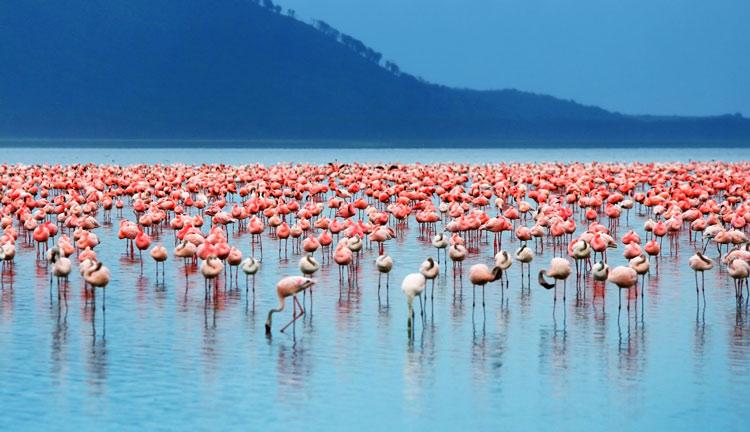 Fenicotteri Rosa Nel Lago Nakuru - Kenya - Safari In Africa