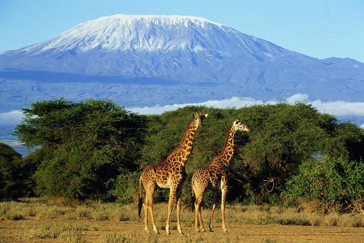 Giraffe nel Parco Nazionale Kilimangiaro - Tanzania - Safari in Africa